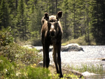 Moose near brook